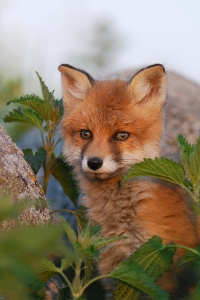 Hello, Foxy Bright-Eyed Boy--Beware of the Bulldozers