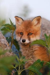 Hello, Foxy Bright-Eyed Boy--Beware of the Bulldozers
