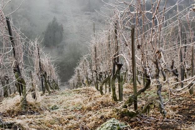 Winter Vineyard Thriller