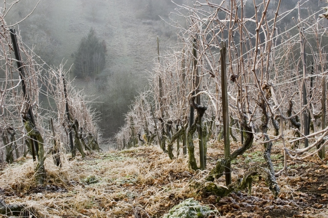 Winter Vineyard Thriller